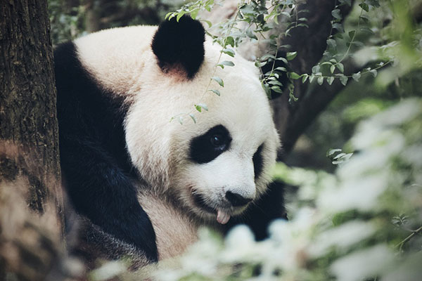 成都到熊猫基地租车