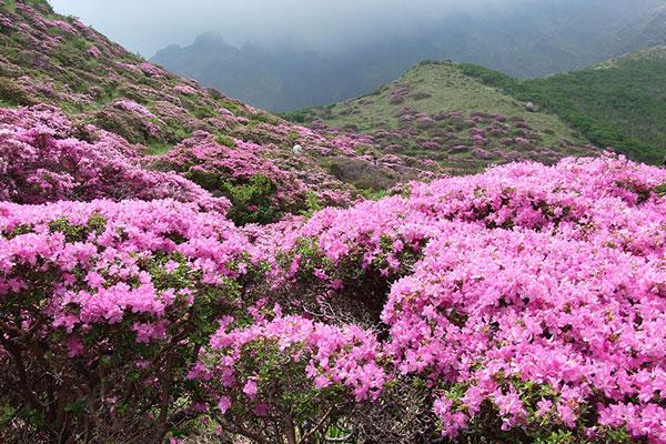 西岭雪山杜鹃花