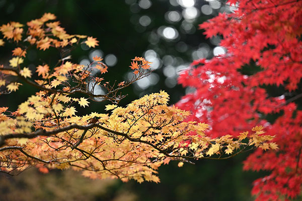 光雾山景点攻略及介绍,今年四川赏红叶就去这里!-耍乐网官网